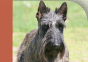 scottish_terrier.jpg